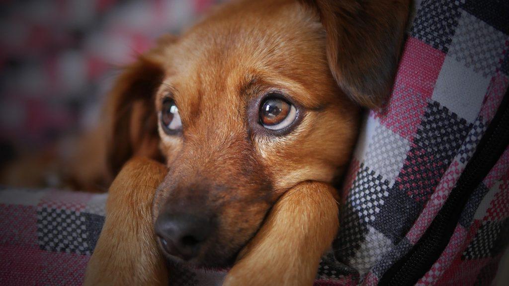adopción de mascota